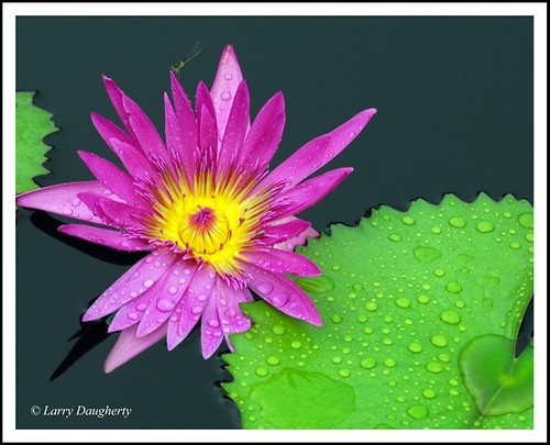 Water Lily in the Rain - Botanical Garden