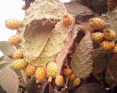 Opuncia ficus-indica (Jamal Elkhalladi) Tags: cactus nature morocco maroc milli  hassi   berkane   triffa