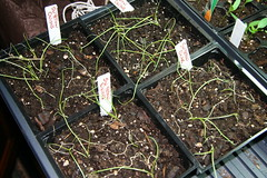 indoor onion seedlings