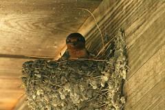 He Sees Me (JKissnHug - Busy Watching Osprey) Tags: birds michigan barnswallows commercetwp summerof1969 robertlongpark whenibecameabirder barnswallowsbuildingnest remembranceofcampstapleton