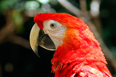 Scarlet Macaw up close