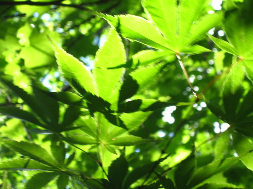 Split Maple Leaves