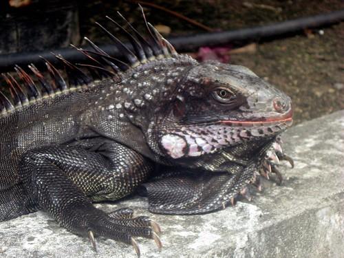 black iguana2