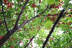 Cherry rain (Gordana AM) Tags: garden rain nature outside outdoors summer july shower sparkle green windsor ontario canada lepiafgeo red cherry cherries tree leaves up above looking ripe pick fruit fresh healthy natural orchard ripen montmorency sour diamondclassphotographer flickrdiamond rouge crveno crvena zeleno verde vert