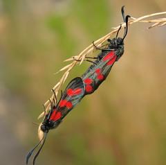 joined (**MIKA**) Tags: canon butterfly insect insekt schmetterling biodiversity g7 widderchen zygaena nachtfalter zygaenafilipendulae filipendulae sechsfleckwidderchen blutströpfchen mywinners powershotg7 canonpowershotg7 fantasticinsect mikahuettner