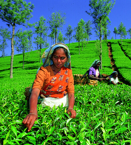 Tea Plantation, History, Growing, Cold Climate,Green Tea, Black Tea, Drink, Iced Tea, Hot Tea, Medicinal