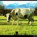 mirando a la vaca