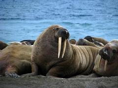 Walrus hunk