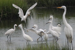 It's always crowded at the shore in August! (Henry McLin) Tags: bird birds snowy nj brigantine egret oceanville