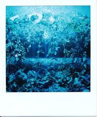 Aqua Pola (Lady Vervaine) Tags: blue light plants plant colour film water fountain fun polaroid sx70 aqua glow underwater magic dream aquamarine 600 tropical glowing dreamy colourful dreamlike magical luminous nofilter glowy watery aqueous oneiric