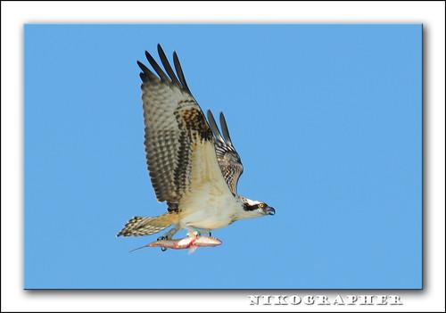 Osprey @ LBNY