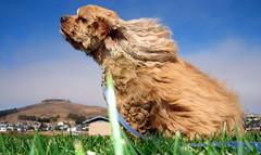 [フリー画像] [動物写真] [哺乳類] [イヌ科] [犬/イヌ] [アメリカン・コッカー・スパニエル]      [フリー素材]