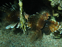 Peces escorpión / Lionfishes (Pterois miles) (copepodo) Tags: pez fauna redsea diving jordan lionfish aqaba buceo jordania submarinismo scorpaenidae marrojo escorpion