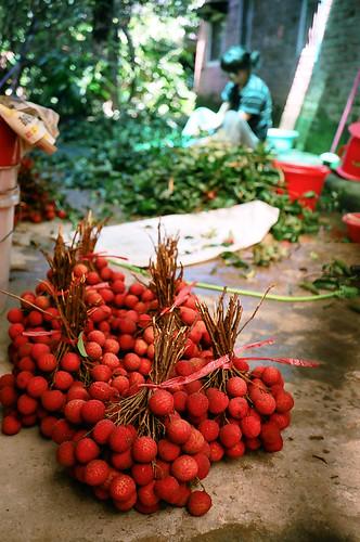一束束的荔枝﹐都是辛苦栽種和收成的結晶