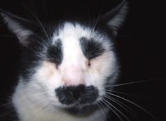 20030926 - Samhain - 100-0054 - eyes closed (Rev. Xanatos Satanicos Bombasticos (ClintJCL)) Tags: 2003 eye alexandria animal closeup cat virginia eyes upstairs 200309 20030926 closedeyes closedeye clintandcarolynshouse sahainthecat