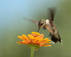 Summer Hummer (HowardCheekPhotography.com) Tags: flower green bird birds female fly flying inflight colorful hummingbird birding flight iridescent ruby hummer hover feathered archilochus colubris throated photocontesttnc12