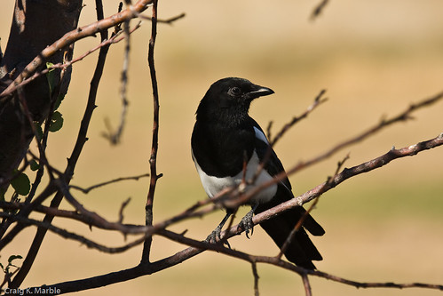 Black-billed Magpie (1 of 2)