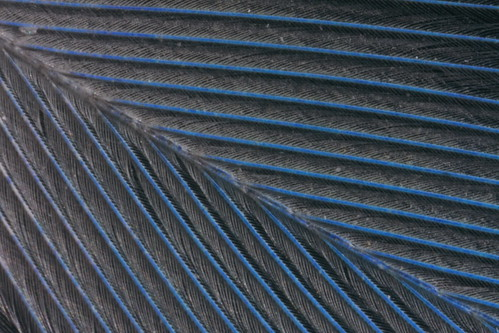 Feather of budgerigar