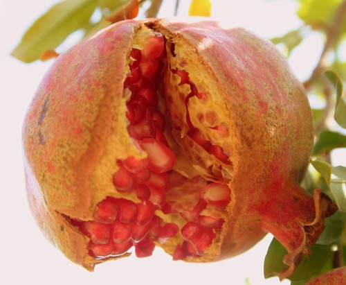 The Pomegranate !!!!! by puri_.