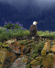 """Standing Guard"" (chaines9) Tags: nature birds alaska photography nationalpark wildlife eagles katmai photocontesttnc08 photocontesttnc09 dailynaturetnc09 birdsnw09 lifetnc10 photocontesttnc11 dailynaturetnc11 tnc11 momentumcontestmyfavoriteplace photocontesttnc12 publandsnw11 dailynaturetnc12 photoofthedaynwf12"