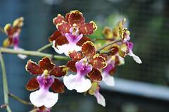 DSC_0161_258 (Rooster_kool) Tags: orchid flower nikon flickr nikonian singaporeimage nikoniste nikond90 earthasia colorsinourworld digitallyimages