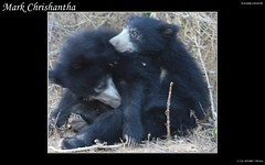 Two Cubs (Mark Chrishantha) Tags: life bear park wood wild black color water animal forest hair happy branch play dry lanka national enjoy drought land cubs yala