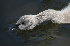 Walk along the Torrens (Snapped by Leanne) Tags: swans cygnets