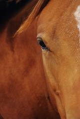 barry adamson:i could love you (visualpanic) Tags: horse brown eye texture animal mammal caballo ojo appaloosa textures 2008 chevaux cavall ull setembre empord altempord marrn mirades marr vilopriu mamfer
