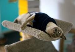 one little fang (Boston Wolverine) Tags: pet cat sweater feline siamese miranda 50mmf14 bluepoint scratchingpost cattree
