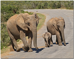 We are family (*Kicki*) Tags: africa road travel wild elephant nature animal southafrica addo big minolta wildlife natur august adventure safari explore cc creativecommons dynax7d 7d afrika elephants konica dynax 2008 elefant tier vg bigfive big5 djur konicaminolta kicki shongololo shongololoexpress flickrexplore thebigfive thebig5 sydafrika explored vild elefanter konicaminoltadynax7d svenskaamatrfotografer greattrainadventures httpwwwshongololocom kh67