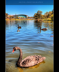 Sitting By the Swan Lake :: HDR (Artie | Photography :: I'm a lazy boy :)) Tags: city black reflection water photoshop canon river cs2 south australia wideangle swans handheld adelaide ripples 1020mm hdr torrens conventioncentre artie blackswans rivertorrens torrensriver sigmalens photomatix tonemapping tonemap pseudohdr singleraw 400d rebelxti