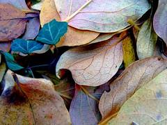 Autumn Leaves Vol. II (Elanorya) Tags: autumn leaves foglie natura terra autunno colori freddo aria fuori edera sfumature