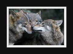Europese Wolf (Arie van Tilborg) Tags: zoo rotterdam blijdorp dierentuin diergaardeblijdorp rotterdamzoo specanimal tilborg arievantilborg vosplusbellesphotos tlbdemonnl naturescreations