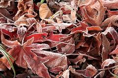 (mokapest) Tags: morning winter cold fall ice leaves fog foglie brina nebbia inverno autunno freddo ghiaccio mattina