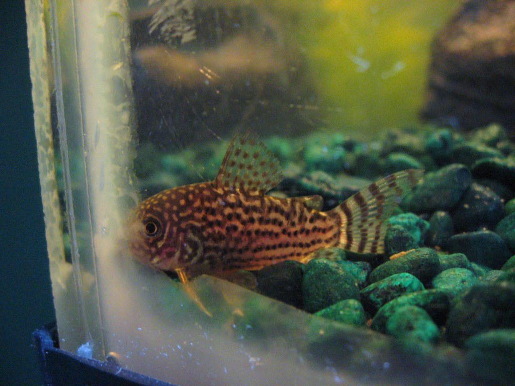Matchless bottom feeder freshwater
