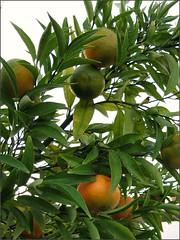 Tangerines...