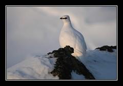 Rock ptarmigan - Rjpa (Kiddi Einars) Tags: snow cold greenland grnland icecold rjpa rockptarmigan grnland fjellrype rockparmigan