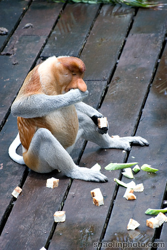 Proboscis Monkey Feeding