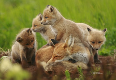mom with kits_Q2E3678 (bud_marschner) Tags: red alaska river fox kits mcneil naturesfinest abigfave vosplusbellesphotos