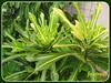 Probably Croton 'Robert Halgrim' (Codiaeum variagatum)