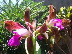 Imagem foto nilgazzola minhas orchids orquideas lindas... (23) (nilgazzola) Tags: de foto orchids ou com orquideas tirada maquina orquidias nilgazzola