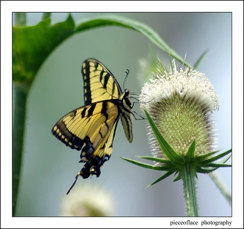 Eastern Tiger Swallowtail on Teasel...