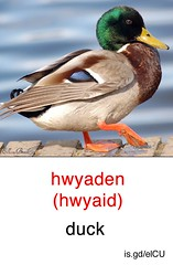 Duck - Welsh flashcard