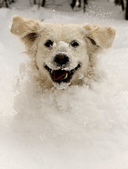 Peak a boo!.... (Explored! #464) (Pewald) Tags: winter dog snow playing fun goldenretriver theunforgettablepictures