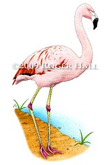 Chilean Flamingo (Roger D Hall) Tags: art animal illustration drawing flamingo waterfowl chilean shorebird chilensis phoenicopterus