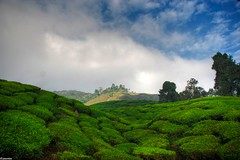 tea again (jasonlouphotography) Tags: nature cameronhighlands sgpalas
