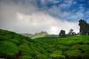 tea again (jasonlouphotography) Tags: nature cameronhighlands sgpalas