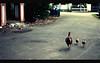 Baby's Day Out (khaniv13) Tags: street chicken animals kids walking mom nikon afternoon dof snapshot jakarta lowangle kebayoranbaru cibulan d40x afs35mmf18 khaniv13