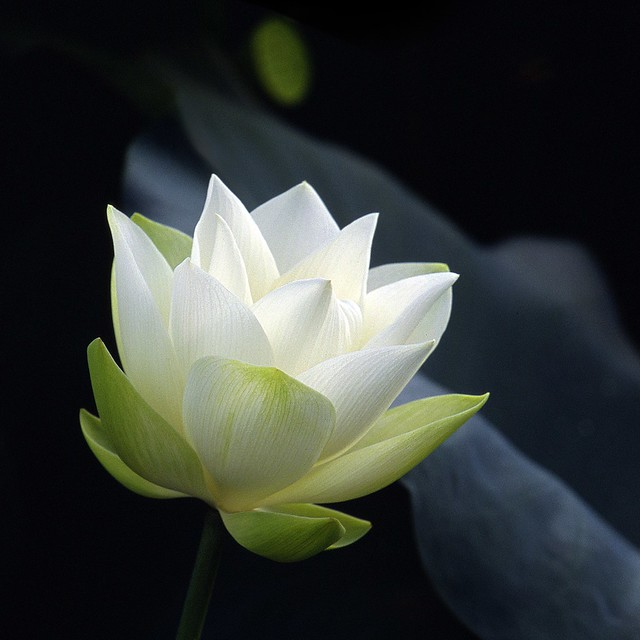 White Lotus...in early stage of blossom
