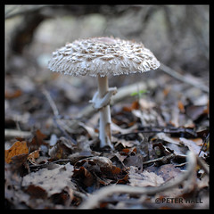 Toadstool 10 (peterphotographic) Tags: uk england nature mushroom eppingforest nikon toadstool d200 connaughtwater